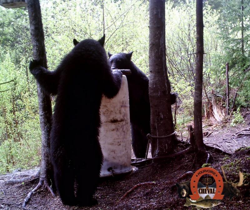 ours noir sur site d'appâtage au fer à cheval
