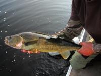 Catch and release pêche au doré