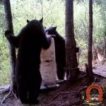 ours noir sur site appaté