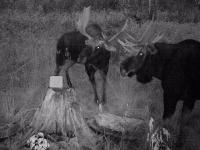 Chasse à l'orignal à la pourvoirie du Fer à Cheval