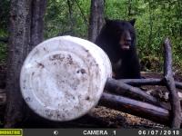 Ours de taille traqué le jour  par caméra de surveillance au Fer à Cheval