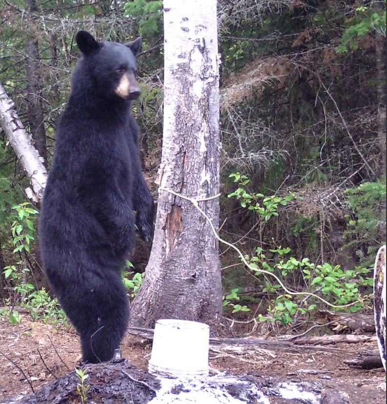Ours apercu sur terrain appâté du territoire