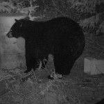 Ours noirs la nuit sur les sites avec baits (appâtage)