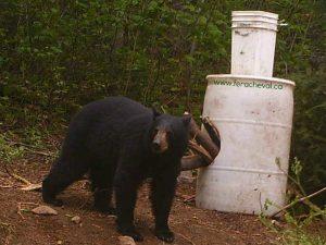 Ours Noir s'apprêtant à manger dans baits Pourvoirie Fer A Cheval