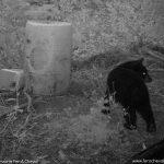 Ours Nuit Noire Sur Site Bait Fer A Cheval