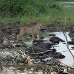 Lynx apercu aux abords du lac St-Denis - Pourvoirie Fer A Cheval
