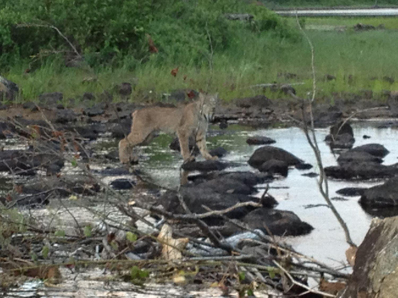 Superbe lynx apercu sur la rive du lac St-Denis!