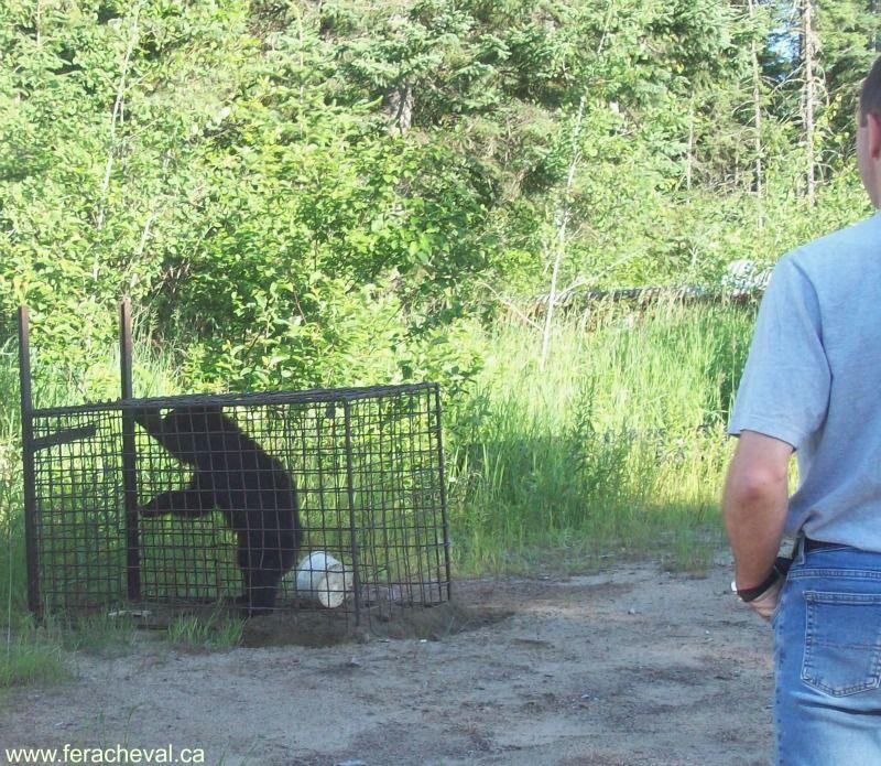 capture-ours-liberté-fer-a-cheval-pourvoirie-laurentides