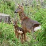 chevreuil-chasse