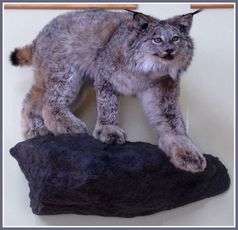 taxidermie laurentides