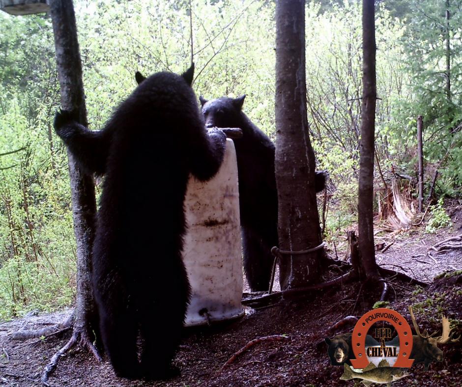 Site d'appâtage pour attirer l'ours noir