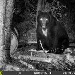 ours noir traqué par la camera de surveillance