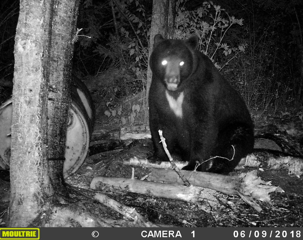 Ce magnifique ours vous fera rêver à un futur trophée!