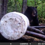 ours de taille traqué par camera de surveillance