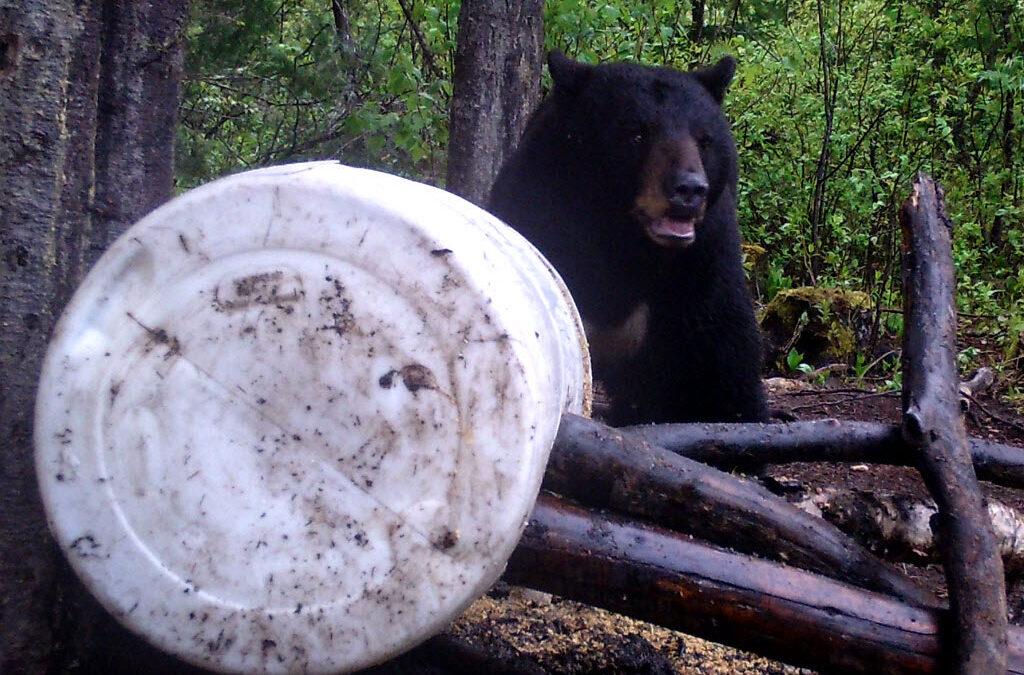 Chasse à l'ours noir avec 100% de réussite!