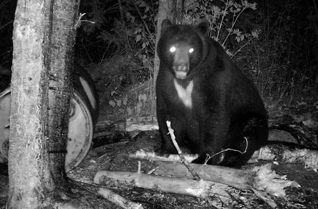 Dream Trophy Bear Hunt Anticipation
